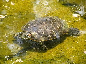 300px-Defensive_turtle