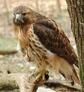 300px-Red-tailed_Hawk_Buteo_jamaicensis_Full_Body_1880px