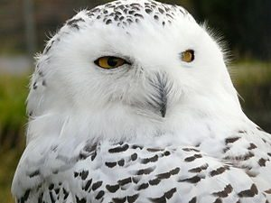 300px-Snowy_Owl_at_Highland_Wildlife_Park_-_geograph.org_.uk_-_1002586
