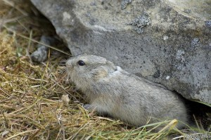 Even if everyone is quiet and still, lemmings don't stray far from their hiding areas. Radstock Bay, Devon Island, Nunavut, Canada.